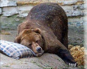 hibernation-bear